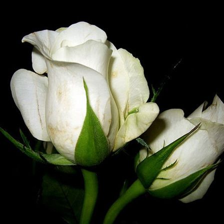 Top 25 Most Beautiful White Flowers Truth And Beauty White