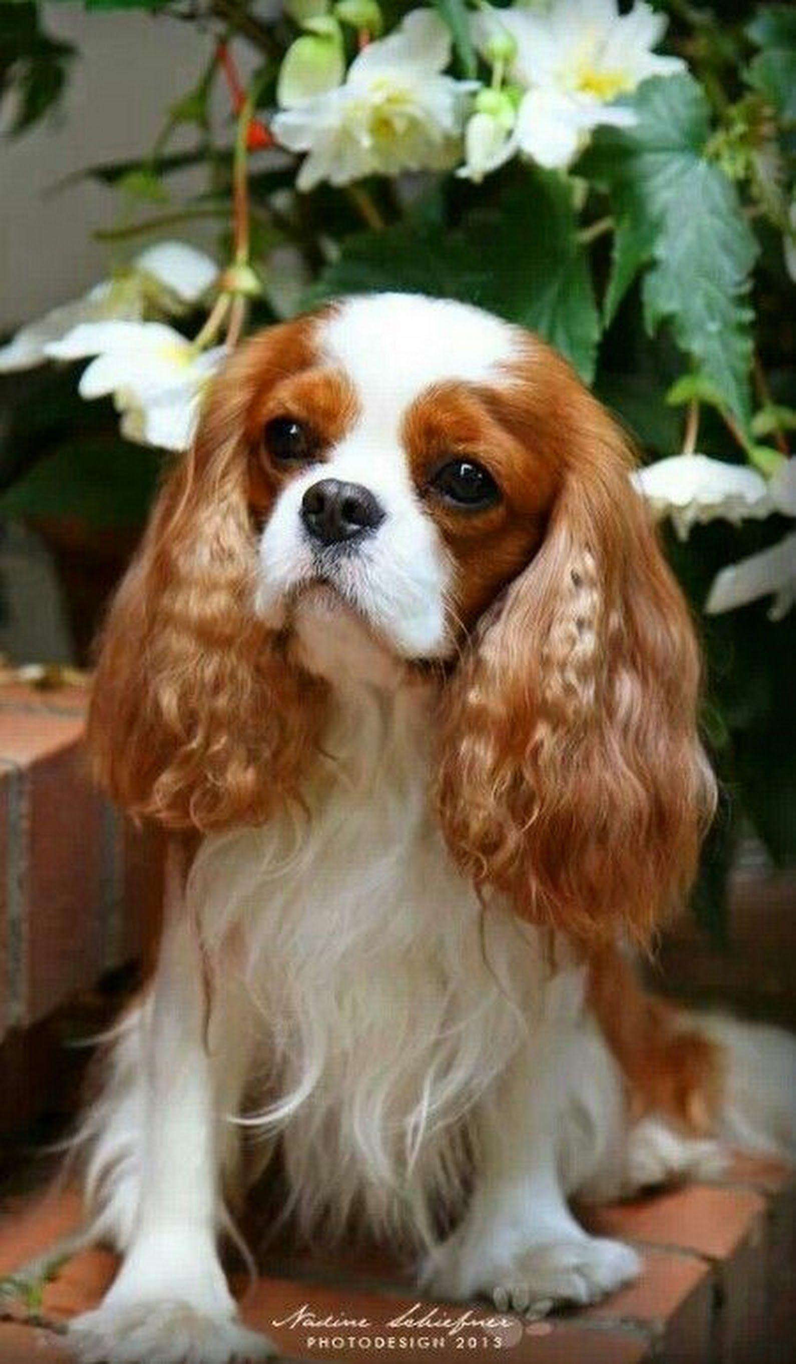 Cavalier king charles spaniel cavalier king charles dog