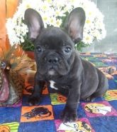 Puppies For Sale New Jersey French Bulldog Breeders French