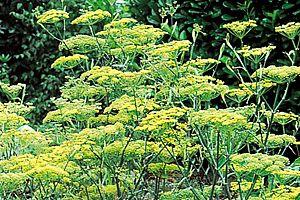 comment attirer les pollinisateurs | fleurs jaunes, juillet aout