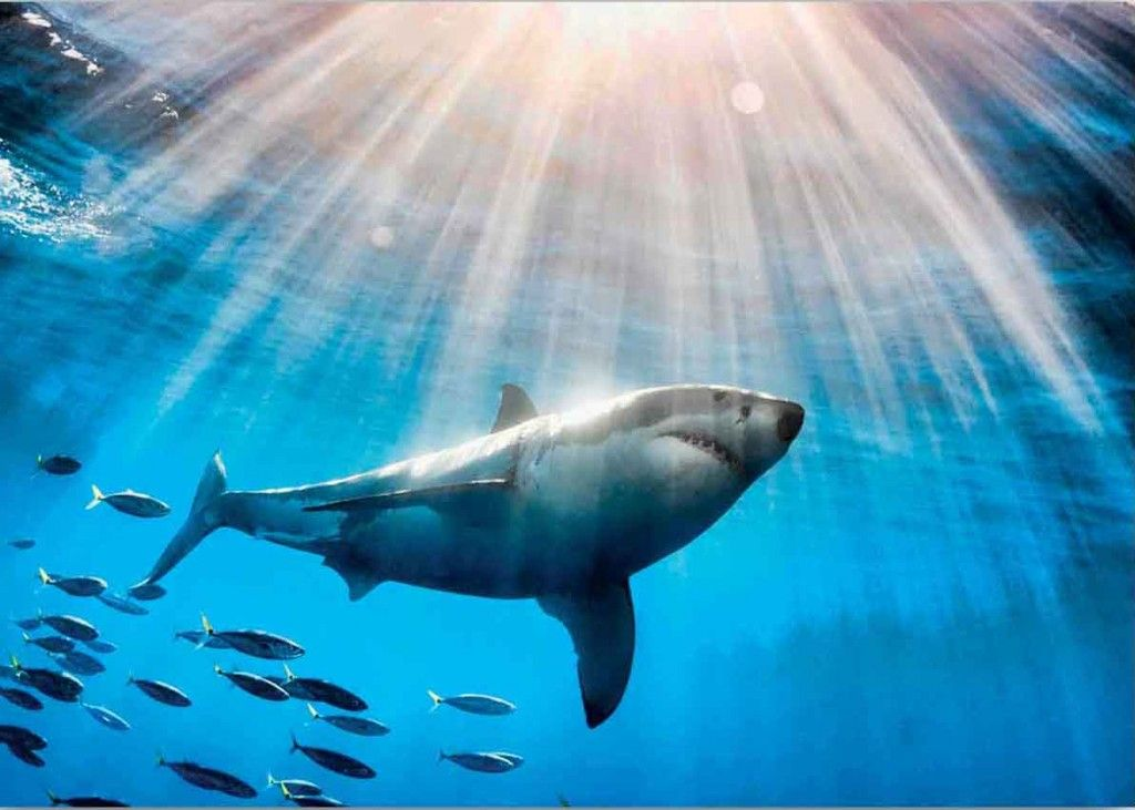Shark Frenzy Khaled2 Requin Animaux Et Fond Marin