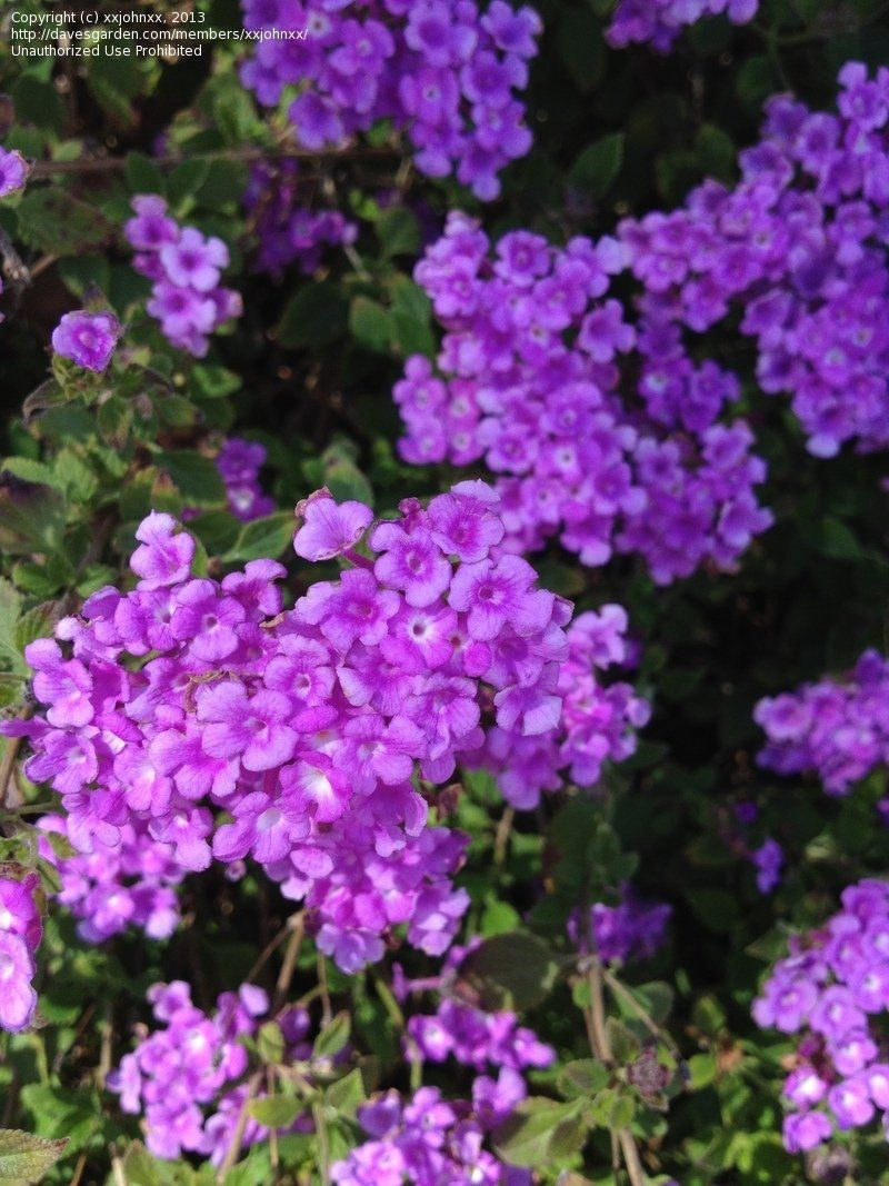 View Picture Of Weeping Lantana Trailing Lantana Trailing Lavender