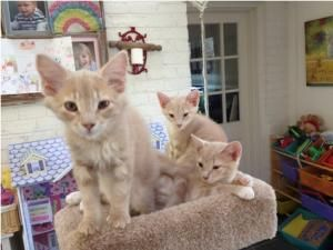 Adopt Leo Bella And Luna On Petfinder Cats Cradle Hair Buff Kittens