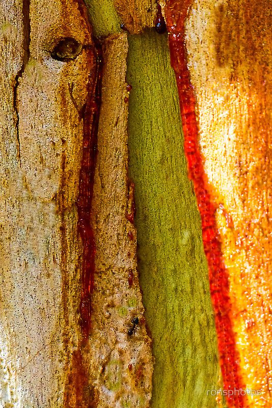 Red Sap Oozing Out Of Gum Tree Trunk Onto Old Pealing Bark By Ronsphotos Patterns In Nature Beautiful Tree Tree Bark
