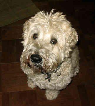 Wheaten terrier allergies