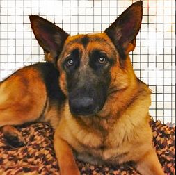 German Shepherd Dog Dog For Adoption In Clifton Forge Va Adn