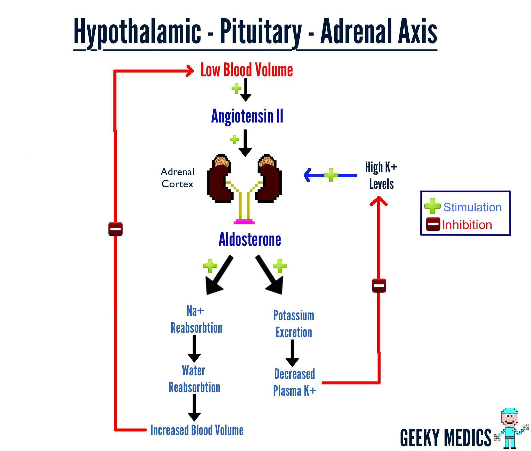 Adrenal Gland Function Nursing Pinterest Adrenal Glands And