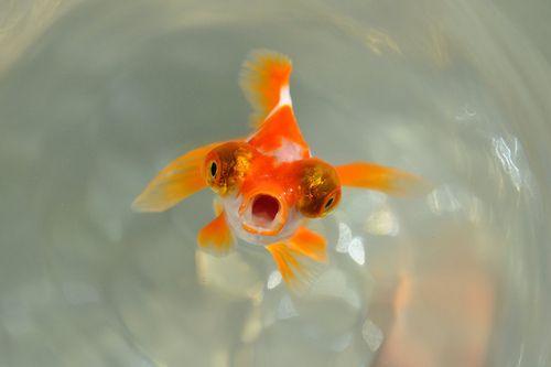 Hellooooo Anybody Out Thereeeee Animals Animal Tumblr Fantail Goldfish