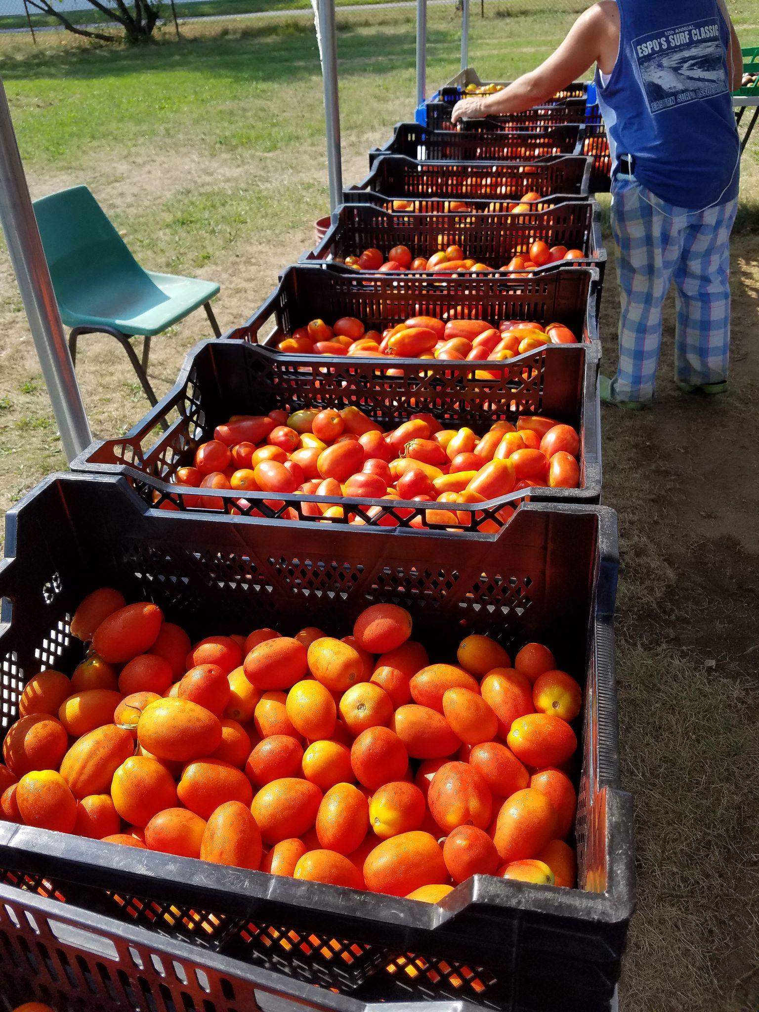 Tomatoes at an organic CSA farm, Long Island, NY Csa
