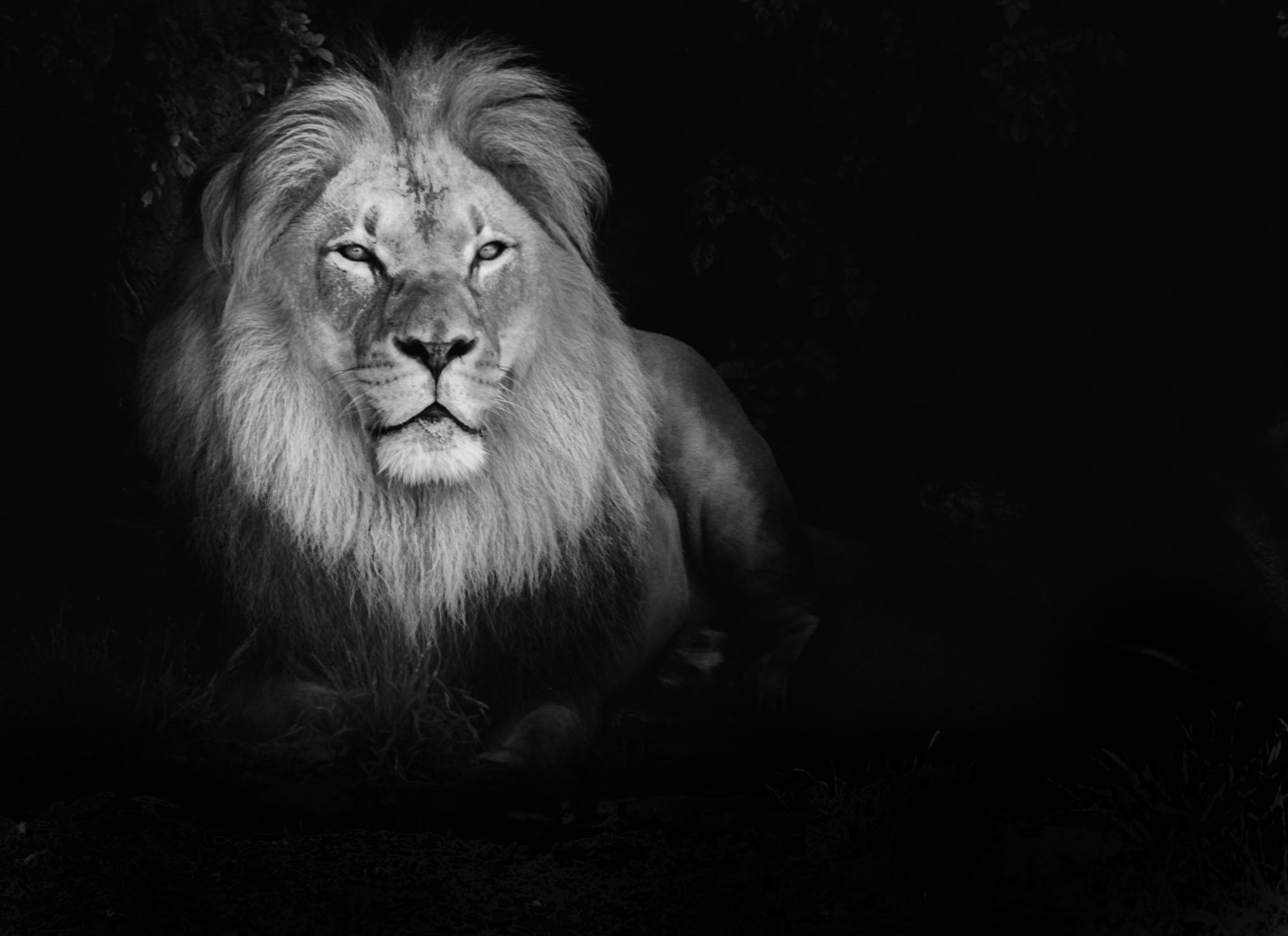 Nature Lion Big Cats Fury Angry Portrait Monochrome