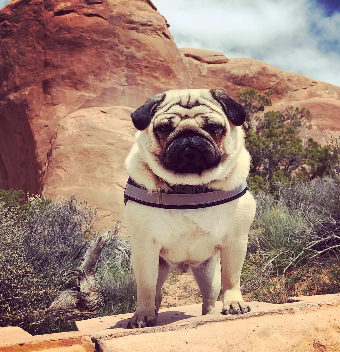 Who You Looking At Canyondog Puglife Puglifeharness