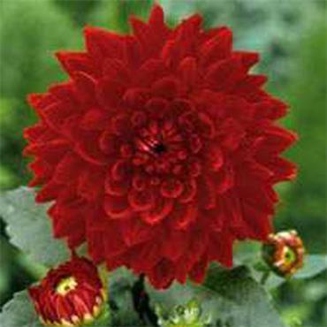 Dahlia Garden Wonder Red Buy Plants Online Bulb Flowers Buy Plants