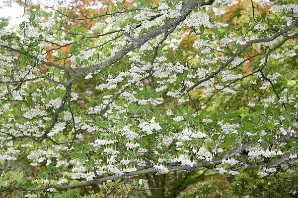 Styrax Onicus Anese Snowbell Zone 5 Height 20 30 Feet Width 10 15