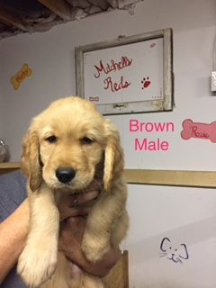 Golden Retriever Puppy For Sale In Somerset Ky Adn 44517 On