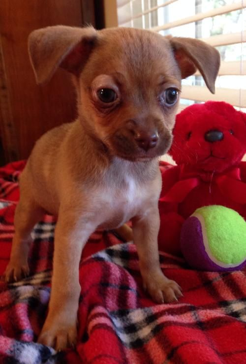 Daisy Dachshund Chihuahua Mix Puppy Love Chihuahua