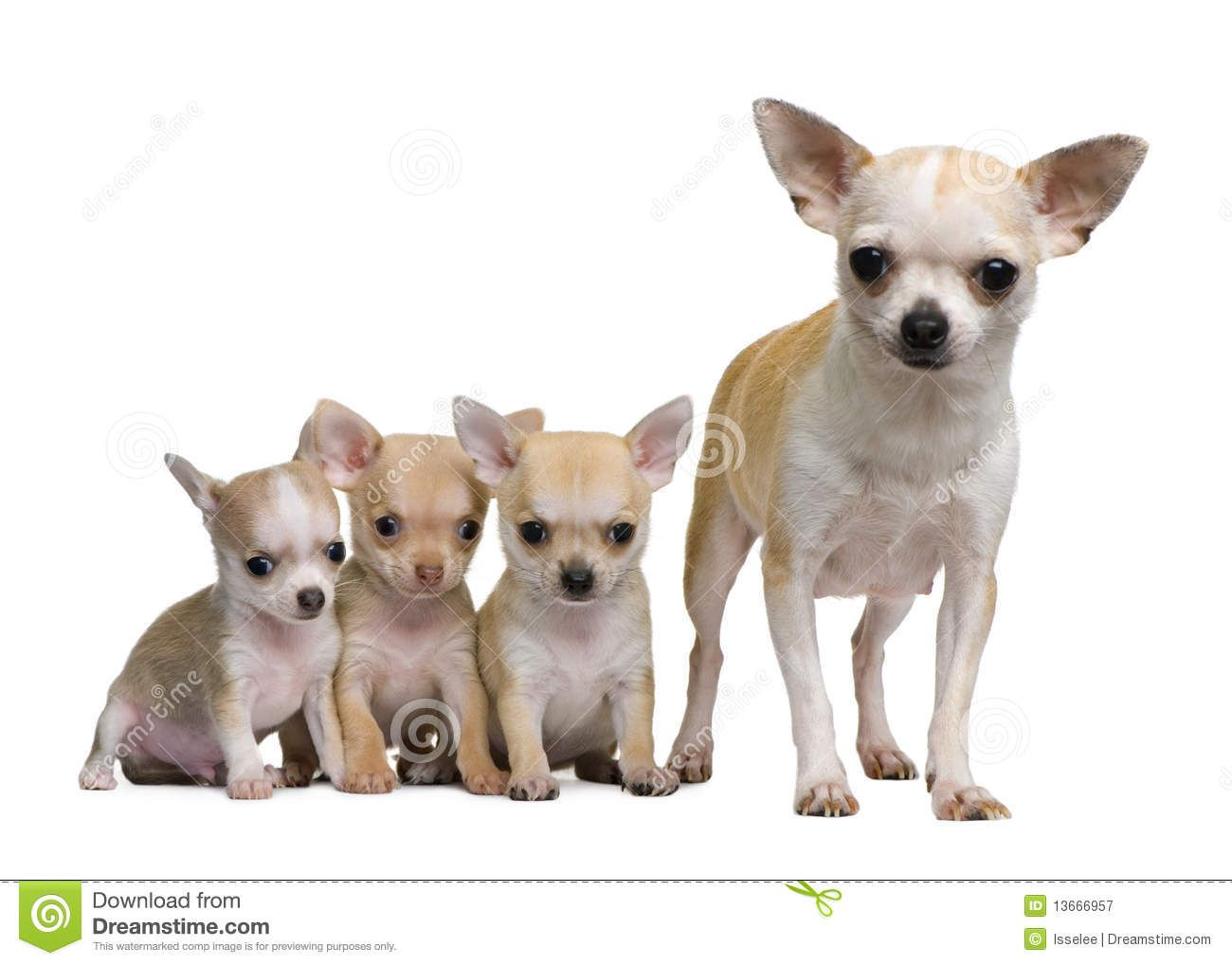 Chihuahua Puppies 8 Weeks Old Royalty Free Stock Images Image Chihuahua Puppies Cute Chihuahua Chihuahua Love