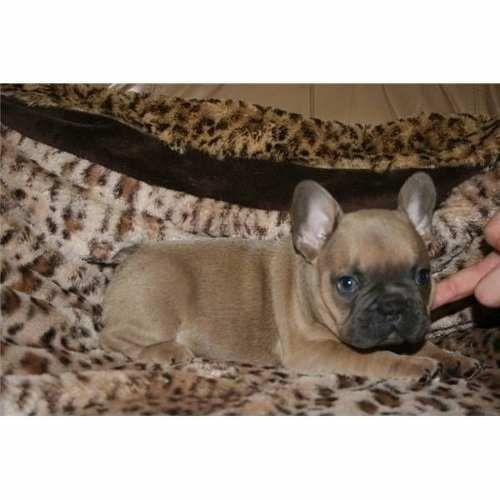Cachorros Bulldog Frances Blue Fawn Aptos Registro Cpr Frenchie