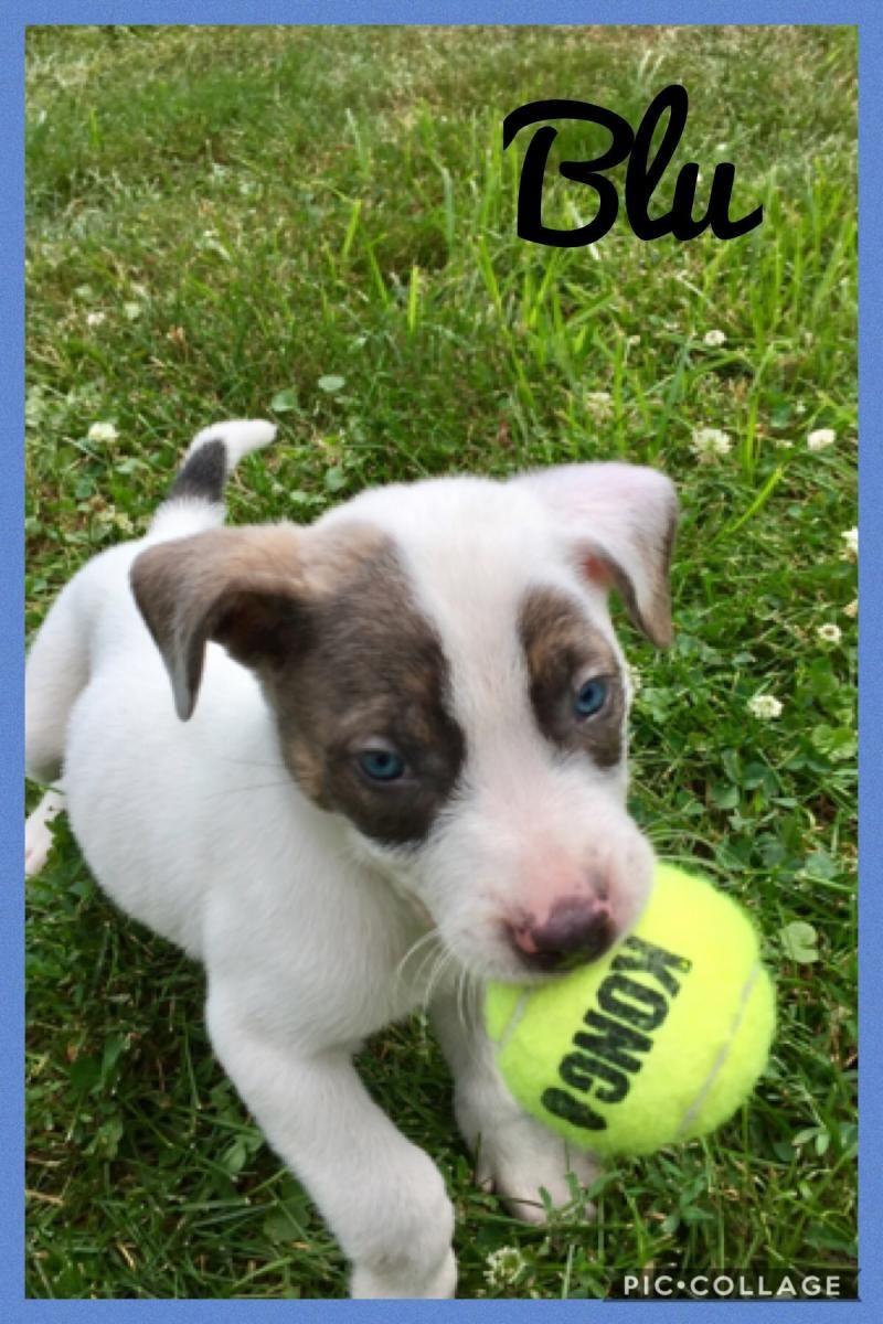 Adopt Blu on Petfinder Dogs, Husky mix,