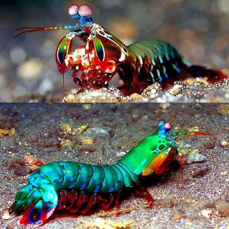 Save Our Green » Beautiful Mantis shrimp   Gods Creatures ...