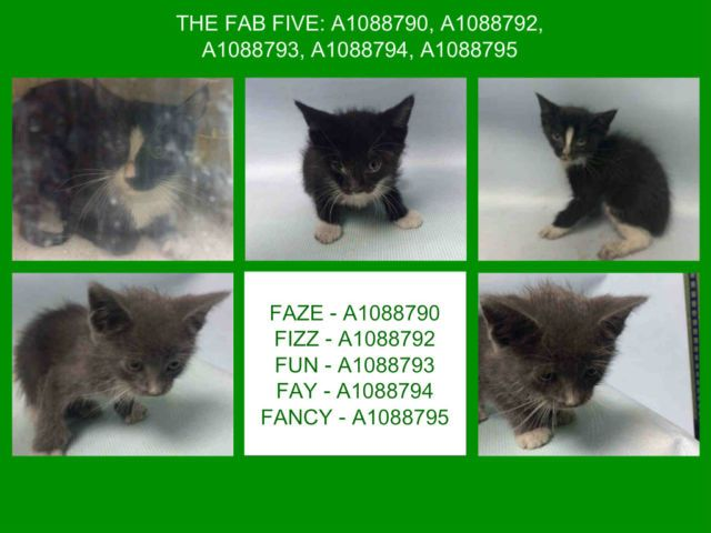 The Fab Five A1088790 A1088792 A1088793 A1088794 A1088795 Foster Cat Cat Adoption Kittens Cutest