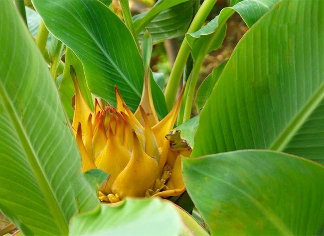 comment cultiver le bananier nain en pot au printemps et l 39 entretenir toute l 39 ann e plants. Black Bedroom Furniture Sets. Home Design Ideas