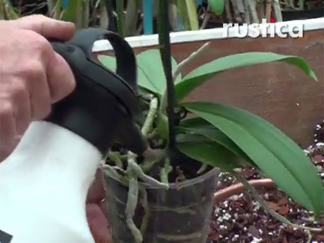 comment bien arroser l 39 orchid e phalaenopsis plantes. Black Bedroom Furniture Sets. Home Design Ideas
