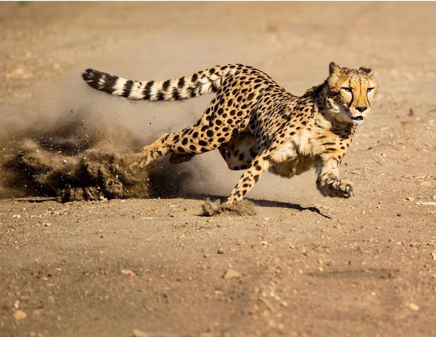 Резултат со слика за cheetah running