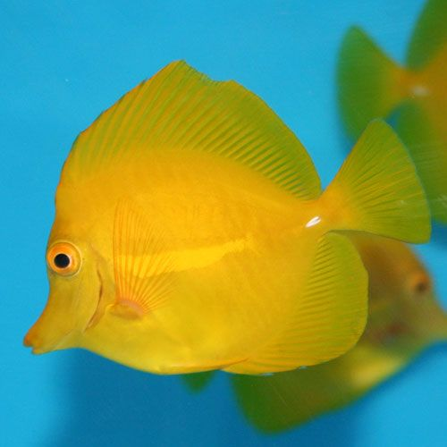Pin By Loveaffair On Contrasting Colors Tang Fish Yellow Tang