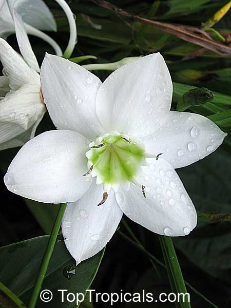 4755 eucharis grandiflora amazon lily amazon lily large sweet large sweet scented white flowers ideal for potting likes heavy feeding and plenty of water amazon lilies dont like to be disturbed mightylinksfo