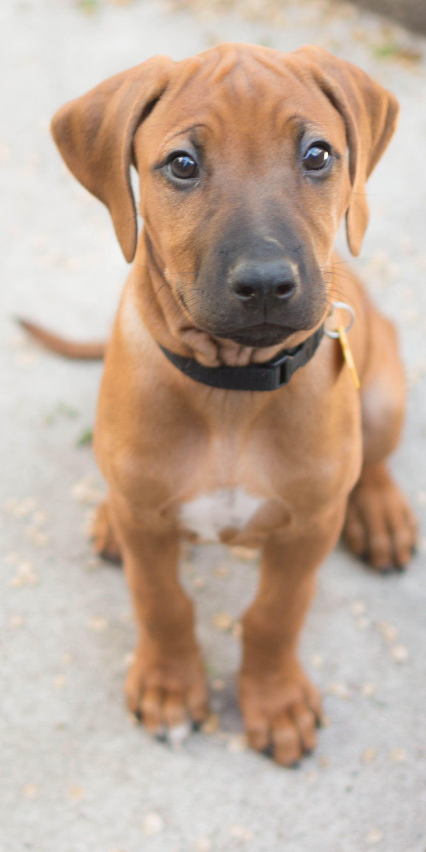 Most Inspiring Rhodesian Ridgeback Brown Adorable Dog - 32cb6c31db8a6154e5a99904007db504  Snapshot_27985  .jpg