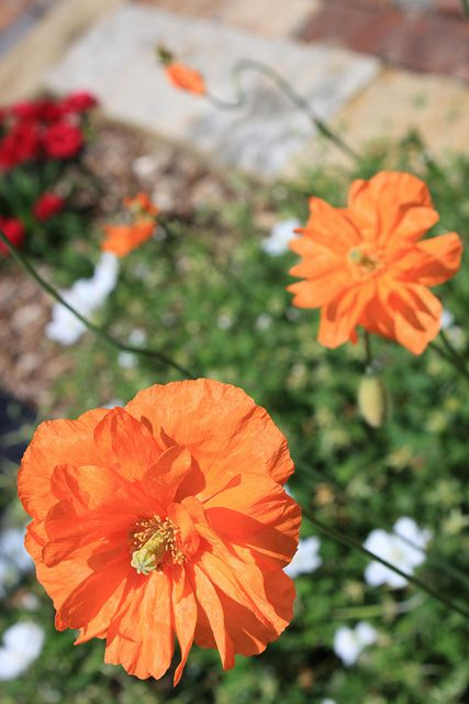 Divide And Reset Oriental Poppies After Flowering As The Foliage