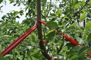 Fruit Tree Care: Using Tree Limb Spreaders -Benefits: Not