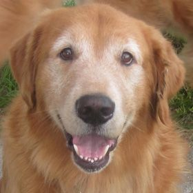 Pin By Laurie Knudsen Bowman On Rescue Golden Retriever Rescue