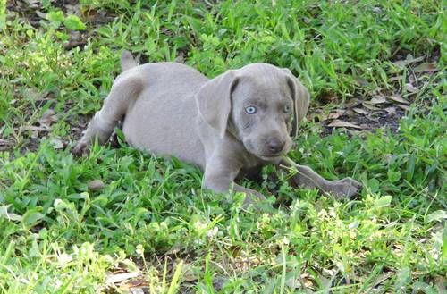 8 Weeks Old Silver Grey Weimaraners Labrador Retriever Silver Labrador Puppies Labrador Puppy