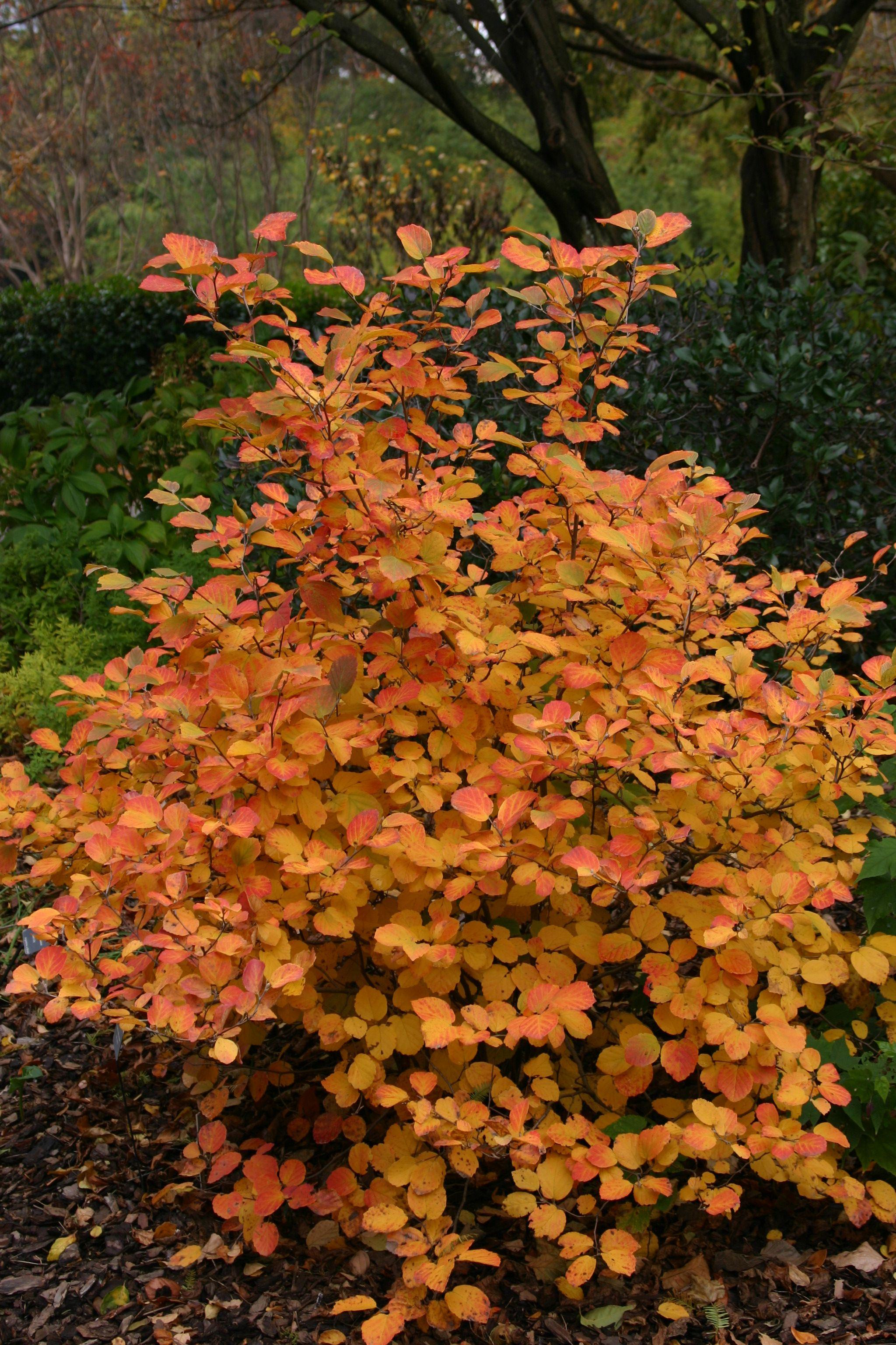 fothergilla 39 mt airy 39 fall color shrubs. Black Bedroom Furniture Sets. Home Design Ideas