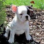 miniature french bull dog