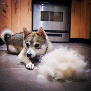 Do Alaskan Klee Kai Shed Dog Kisses Cute Cats And Dogs