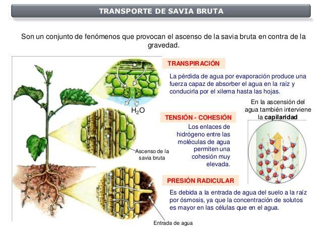 Transporte Savia Bruta Partes De La Flor Ensenanza Biologia Savia