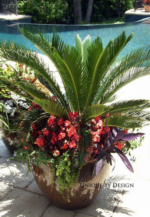 Sago palm, begonias, purple heart and moneywort. Go reds or go pinks its lovely either way! palm, begonias, purple heart and moneywort. Go reds or go pinks its lovely either way!