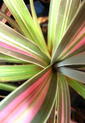 Tropical Cordyline Australis Buy Cordyline Plant S Plants Trees To Plant Planting Flowers