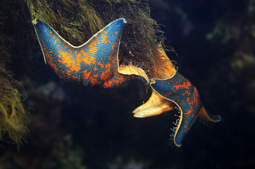 Asterina Pectinifera (Common name: Starfish) Photographed by Alexander Semenov.