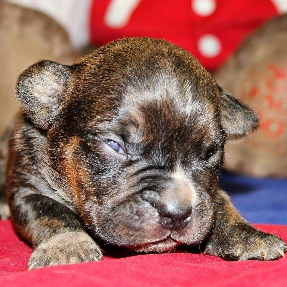 American Pocket Bully's Tiger Striped Male at Two Weeks. 3615001514  www.americanpocketbully.com