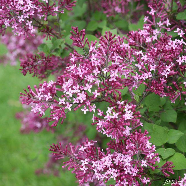 edelflieder 39 bloomerang dark purple 39 flieder garten schl ter flieder und edelflieder. Black Bedroom Furniture Sets. Home Design Ideas
