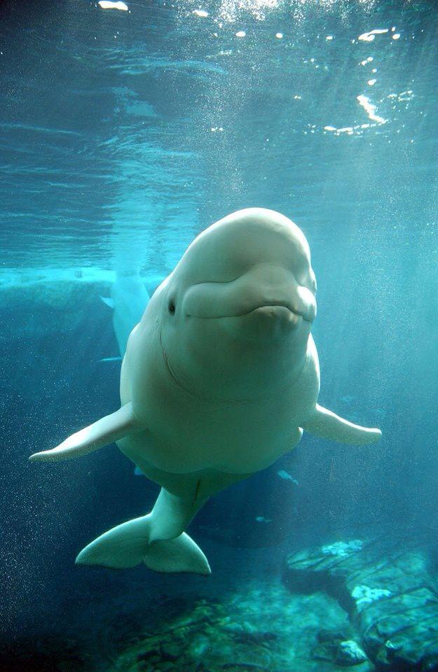 Happy Happy Beluga Whale, Seaworld Orlando