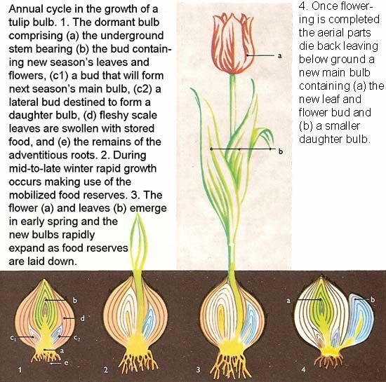 annual cycle in the growth of a tulip bulb. Black Bedroom Furniture Sets. Home Design Ideas