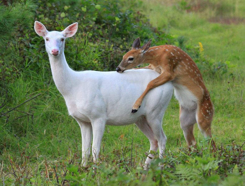 Albino Whitetail Deer Hitchin A Ride Wild Albino White Tailed Deer Of Boulder Junction Whitetail Deer Albino Deer