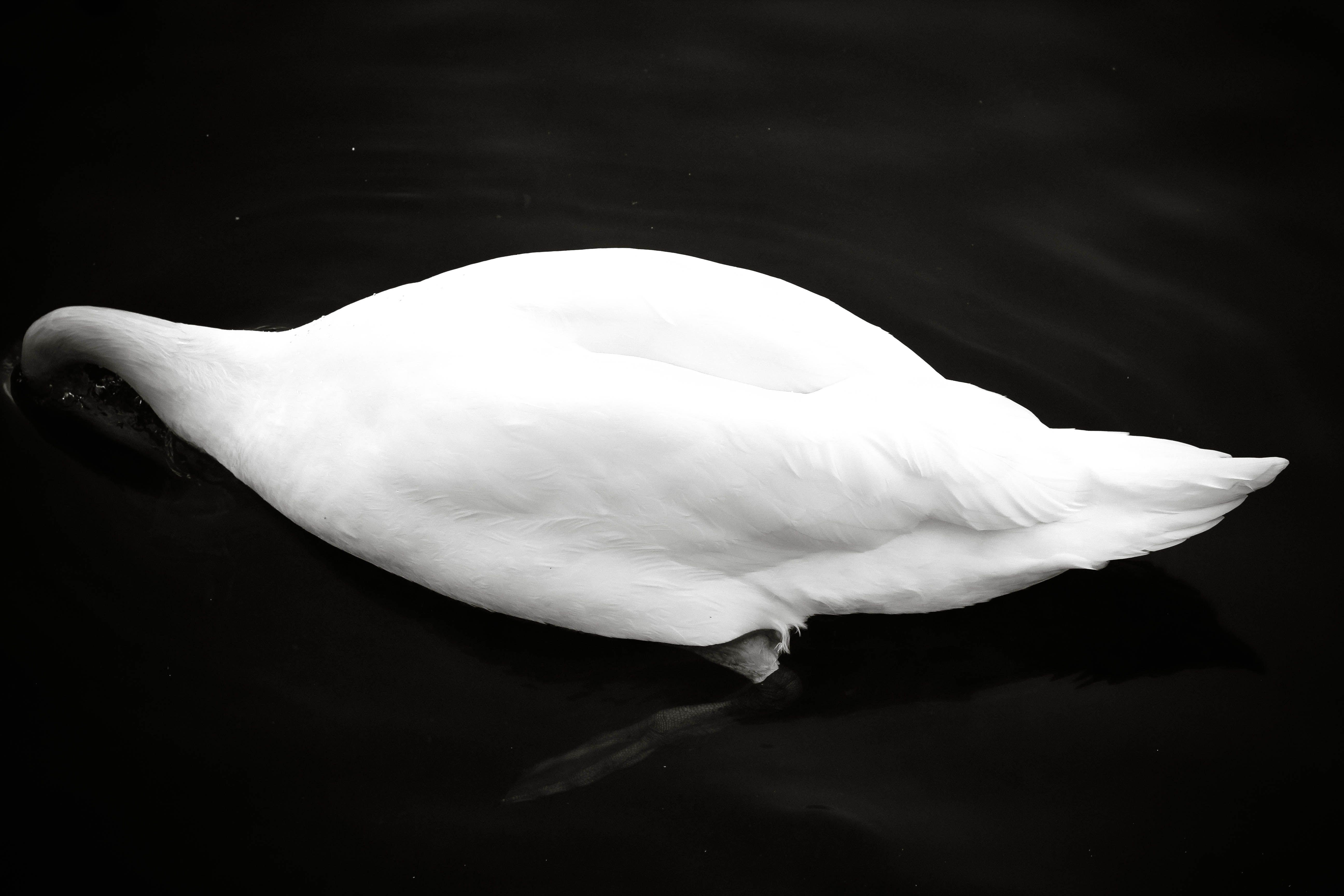 Roundhay Park, Leeds, 2013, Canon EOS 600 D. #swan #schwan #animal #animals #nature #wild #lake #sea #see #water #wasser #swimming #schwimmen #bird #vogel #art #vintage #BlackandWhite #black #white #blackwhite #bnw #bw #poetry #photography #travel #TravelPhotography #travelling #travelphotodiary #travelphotojournalism #fun #love #autumn #europe #england #uk #britain #englisch #english #2013 #canoneos600d #canon #leeds #roundhay #roundhaypark #park
