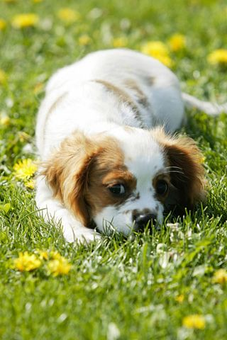 This Little Puppy Is Enjoying The Lazy Days Of Summer Puppied Dogs And Puppies Spaniel Puppies Pet Dogs