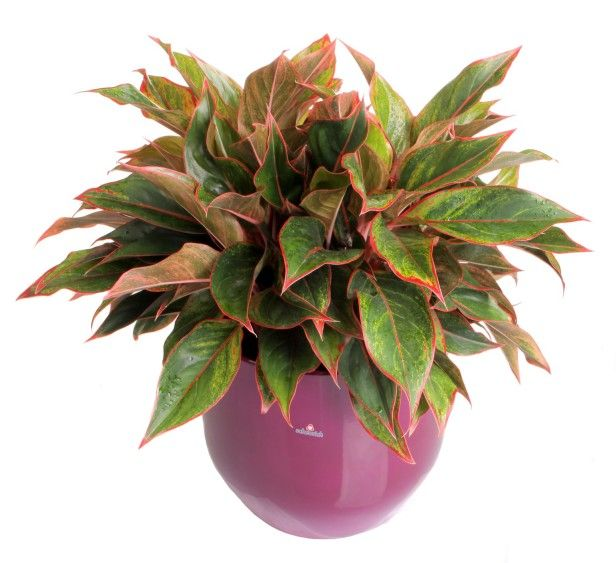 32d0c8f0e4d66cb782a93cd5f8b6dbf1 Red Aglaonema Houseplants on red gerbera, red crotons, red fittonia, red house plants, red camellia, red acacia, red allamanda, red flowering plants, red narcissus, red photinia, red pineapple, red anthurium, red zebra plant, red peace lily, red tropical plants names, red angelonia, red aster, red variegated plants, red wandering jew, red anemone,