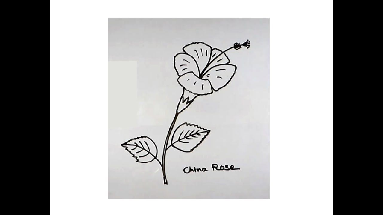 How To Draw A China Rose Or Hibiscus Flower For Kids China Rose Drawings Art For Kids